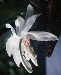 Stanhopea grandiflora - fl 2