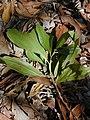 Starr-031013-0013-Acacia mangium-leaves-Hamakuapoko-Maui (24046779553).jpg