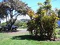 Starr-041022-0007-Cordyline fruticosa-habit-Makawao-Maui (24089907834).jpg