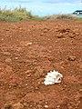 Starr-050525-1935-Atriplex semibaccata-habitat-Kanapou-Kahoolawe (24668607481).jpg