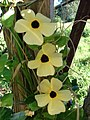 Starr-070111-3094-Thunbergia alata-yellow flower form-Montressori School Baldwin Ave-Maui (24251493243).jpg