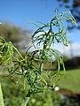 Starr-081031-0405-Anethum graveolens-leaves-Makawao-Maui (24926699885).jpg