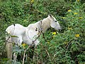 Starr-090601-8719-Tithonia diversifolia-habit with grazing horse-Upper road Kanaio-Maui (24961809195).jpg