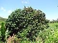 Starr-090610-0564-Litchi chinensis-fruiting habit-Haiku-Maui (39544313700).jpg