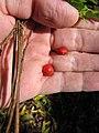 Starr-090623-1496-Adenanthera pavonina-seeds in hand-Nahiku-Maui (24873354191).jpg