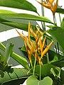 Starr-090803-3554-Heliconia psittacorum x spathocircinata-flowering habit-Waiehu-Maui (24852941882).jpg