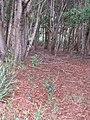 Starr-090804-3696-Acacia melanoxylon-seedlings-MISC HQ Piiholo-Maui (24877830711).jpg