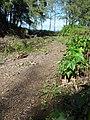 Starr-091104-0917-Aleurites moluccana-in stream bed with Forest-Kahanu Gardens NTBG Kaeleku Hana-Maui (24961525286).jpg
