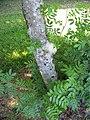 Starr-091104-0936-Calliandra haematocephala-trunk-Kahanu Gardens NTBG Kaeleku Hana-Maui (24987870235).jpg