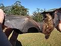 Starr-100907-9061-Eucalyptus sp-habitat with Hawaiian hoary bat Lasiurus cinereus semotus-Olinda-Maui (24958058101).jpg