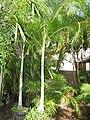 Starr-110215-1416-Chrysalidocarpus lutescens-habit-KiHana Nursery Kihei-Maui (24444908854).jpg