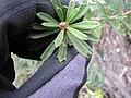 Starr-110609-6133-Banksia marginata-leaves-Shibuya Farm Kula-Maui (24466094374).jpg