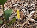 Starr-110621-6267-Vaccinium hybrid-Southern highbush cv Star plant tag-Hawea Pl Olinda-Maui (25070951176).jpg