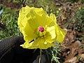 Starr-111129-1558-Argemone mexicana-flower-Polipoli-Maui (25002389822).jpg