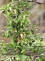 Starr-120403-4154-Asparagus asparagoides-fruit and leaves-Kula-Maui (24511673283).jpg