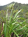 Starr-120425-5145-Dianella sandwicensis-form multipedicellata-Waikapu Valley-Maui (24844607040).jpg