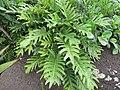 Starr-130319-3004-Philodendron sp-habit-Kilauea-Kauai (25115288941).jpg