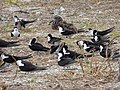 Starr-150403-0271-Coronopus didymus-Sooty Terns settling down-Southeast Eastern Island-Midway Atoll (25157802742).jpg