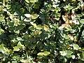 Starr 001228-0123 Ficus pumila.jpg