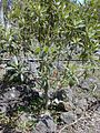 Starr 030222-0041 Myoporum sandwicense.jpg