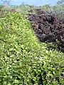Starr 040513-0002 Canavalia pubescens.jpg