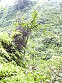 Starr 040713-0028 Antidesma platyphyllum.jpg