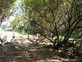 Starr 050128-3291 Prosopis pallida.jpg