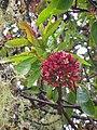 Starr 060429-9484 Santalum freycinetianum var. lanaiense.jpg