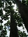 Starr 060703-8346 Artocarpus altilis.jpg