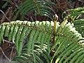 Starr 070405-6740 Diplopterygium pinnatum.jpg