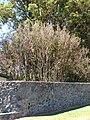 Starr 070604-7253 Syzygium jambos.jpg