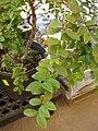 Starr 080117-1791 Myrciaria cauliflora.jpg