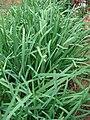 Starr 080607-7150 Allium tuberosum.jpg