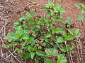 Starr 081230-0590 Malvastrum coromandelianum subsp. coromandelianum.jpg
