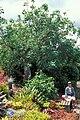 Starr 980529-1416 Erythrina corallodendrum.jpg