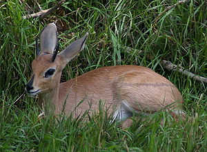 Steenbok - Steenbok typically lie low in vegetation cover at the first sign of threat