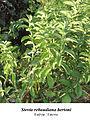 Stevia rebaudiana 2.jpg