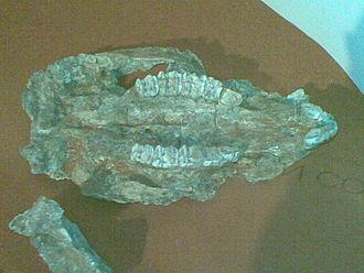 Kangaroo - Palatal view of a Sthenurus sp skull
