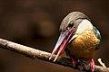 Stork-Billed Kingfisher.jpg