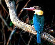 Stork-billed Kingfisheruncommon resident