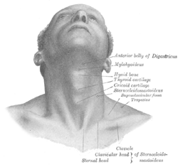 Structure of Adam's apple.png