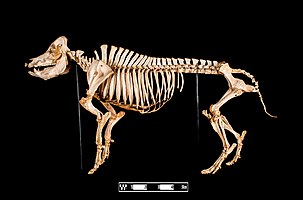 Skeleton model of a pig