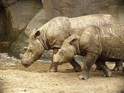 Sumatran Rhino 2.jpg