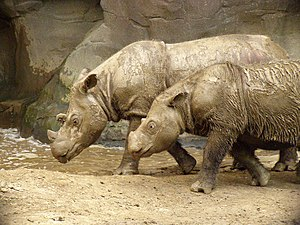 English: Sumatran Rhinoceroses at the Cincinna...