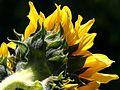 Sunflowers petals.jpg