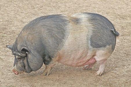 Pot-bellied pig