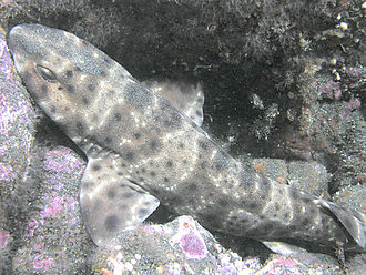 Swell shark - Image: Swell Shark, San Clemente Island, California