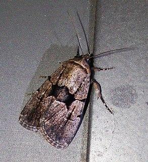 <i>Sympistis infixa</i> species of insect