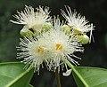Syzygium hemisphericum 08.jpg