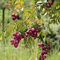 Syzygium jambos-IMG 8747.JPG
